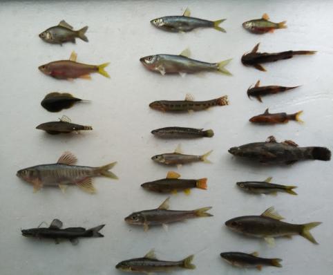 海南島淡水及河口魚類資源調查