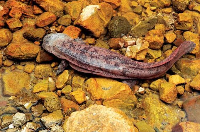 河源市水生野生動物自然保護區大鯢增殖放流效果檢驗